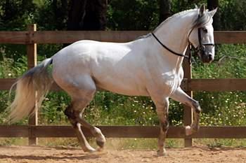 Cavalo de puro-sangue lusitano promovido no Sudeste Asiático