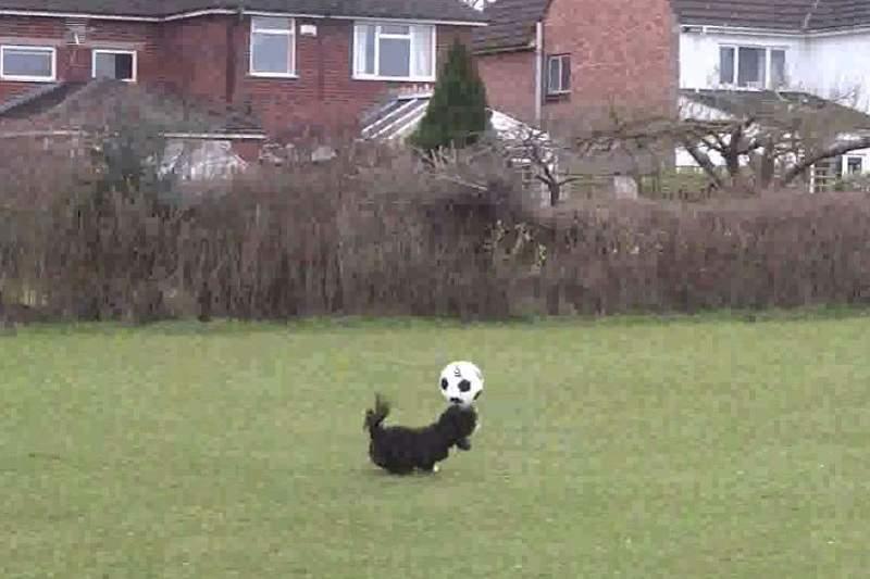 Ronaldog, o cão com pinta de craque da bola