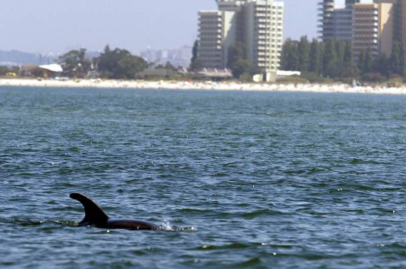 Um golfinho na reserva natural do Rio Sado