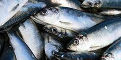 Investigadores aproveitam espinhas e cartilagens de peixe para criar sensores óticos