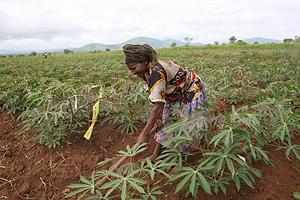Estão a ser aplicadas novas ténicas de cultivo desenvolvidas pelo Instituto Agrário