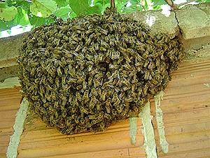 Enxame de abelhas em plena função de produção do mel