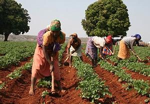 Mais de 200 mil famílias associadas em cooperativas estão envolvidas no processo produtivo no triângulo do milho