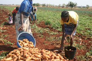 Para o presente ano agrícola as colheitas perspectivadas suplantam as da época anterior