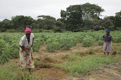A mandioca é um dos produtos agrícolas tradicionalmente mais cultivados e consumidos na província de Cabinda