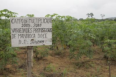 Programa aposta na melhoria e difusão das espécies de mandioca