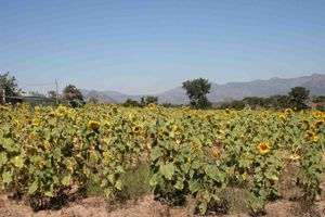 Plantação de girassol e milho fazem da Fazenda Vralelo pioneira na substituição de importação de sementes pela produção nacional