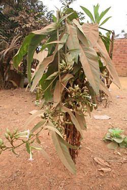 O tabaco é cultivado artesanalmente nos quintais dos bairros