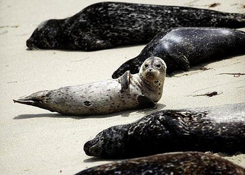 As focas  ao devorarem os grandes cardumes de carapau estão a competir directamente com os pescadores