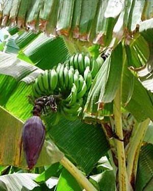 O Vale do Cavaco é uma região agrícola com predominância para o cultivo da banana, do  milho e do feijão