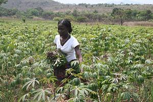 Um dos principais itens da alimentação dos angolanos a mandioca é produzida sobretudo nos campos do norte do país