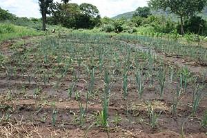 A produção em grande escala de hortícolas como a cebola exige a criação de condiçõesde irrigação adequadas