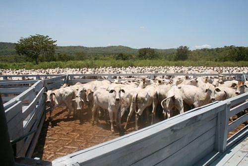 O município de Ambaca sempre teve grandes criações de gado