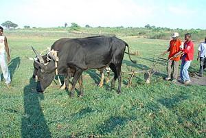 Agricultores garantem que com mais incentivos podem transformar o Cuito Cuanavale no principal celeiro da província