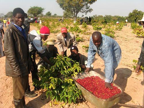 Camponeses empenhados na colheita do bago vermelho em Caluquembe