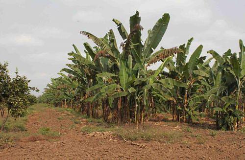 Responsável do Instituto de Desenvolvimento Agrário afirma que a província está a produzir em grande escala para o auto-sustento
