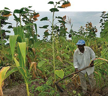 Camponeses de Malanje cultivam de forma considerável mas enfrentam problemas no escoamento dos produtos