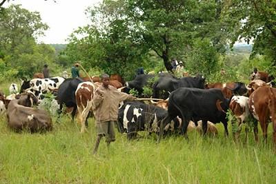 Milhares de animais estão a ser vacinados na Huíla contra o carbúnculo sintomático