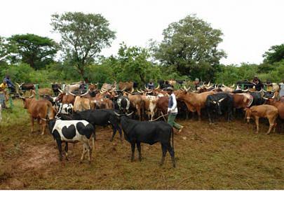 Criadores tradicionais da Huíla foram aconselhados a levar o gado às mangas de vacinação