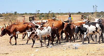 O roubo de gado no sul de Angola vai ser combatido pela Polícia com meios aéreos