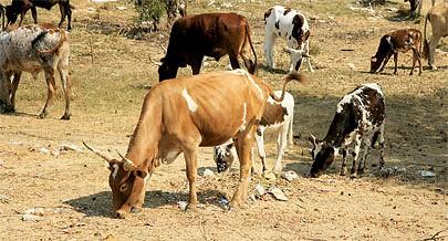 Milhares de cabeças de gado estão ameaçadas devido a falta de alimento e pastos causado pelo período de seca que afecta o Cunene