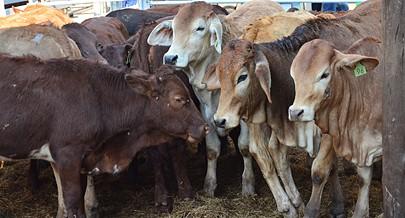 As cooperativas na região Sul estão agora empenhadas no aumento da criação de gado para abate e produção agrícola de modo a corresponder às necessidades do mercado nacional