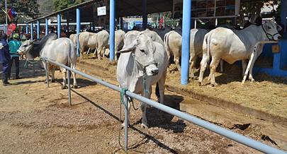 O leilão de animais é fundamental por ser a melhor via para a troca de animais de alta selecção assim como proporcionar a venda ==
