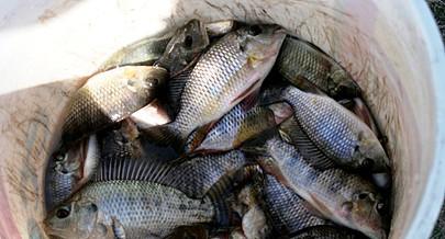 A meta é aumentar cada vez mais os níveis de produção para  diminuir a importação de peixe na região do Moxico