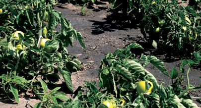 O projecto Luena Rega gere um perímetro irrigado que no mês em curso  prevê  a colheita de duas toneladas de hortícolas