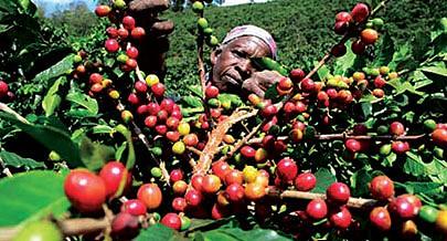 O café deixou de ser um negócio de tradição para ser um negócio de facto onde todos ganham quer os produtores  quer os intermediários