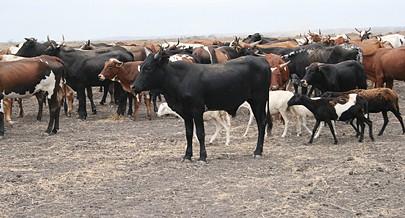 Dezenas de fazendas agro-pecuárias fornecem milhares de  cabeças de gado bovino por ano para a produção de carne e potenciar criadores de outras regiões de Angola