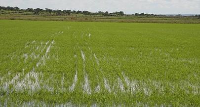 Chanas do Leste de Angola possuem condiçoes excepcionais para a prática do cultivo do arroz devido as constantes chuvas que caiem na região