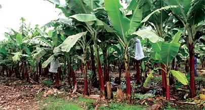 As cooperativas  no município do Quitexe têm como destaque o cultivo da mandioca e banana como principais produtos