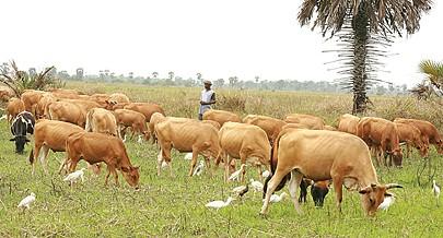 Agricultores de Cabinda apostam no repovoamento animal como base fundamental para a resolução de alguns dos problemas que se colocam ao sector da agro-pecuária da região contando com o apoio do governo local