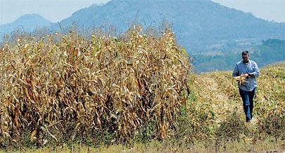 O clima favorável e ricos solos garantem ao município da Quibala as condições ideais para a produção em larga escala de diversos cereais