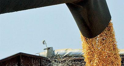 Milho da Quibala serve para a produção de fuba e rações para a alimentação dos animais