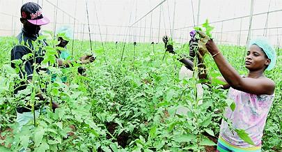 A agricultura é dos sectores que mais saem a ganhar com a exploração da rocha fosfática em 2017 e a subsequente entrada em actividade de unidades de fabricação de fertilizantes