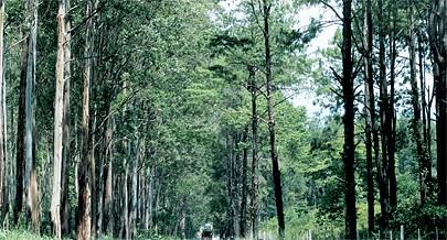 Por causa do desmatamento para o comércio de madeira e o fabrico do carvão é urgente que o repovoamento seja feito com espécies que têm um desenvolvimento rápido como o eucalipto