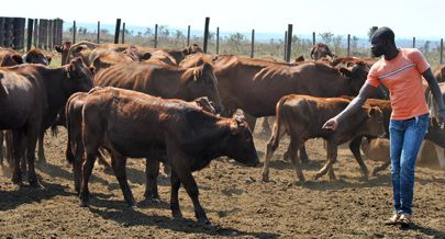 Investimentos no sector da pecuária incluem importação de animais para reprodução resultando daí o aumento da produção de carne