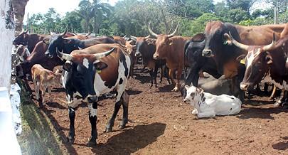 Vários cruzamentos de raças permitem a disponibilidade de mais carne de alta qualidade
