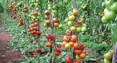 A produção de tomate é uma das principais apostas dos agricultores na região do Cavaco