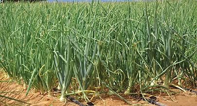 Incentivos do Governo resultaram em excedente de cebola no mercado