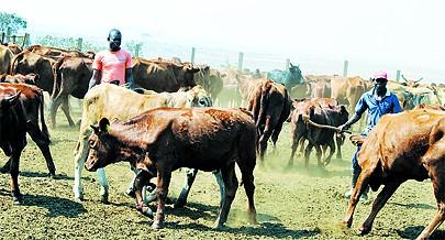 Gado leiteiro e de abate é a aposta da Fazenda agro-pecuária do Cossa que é outro projecto com potencial para o desenvolvimento agro-pecuário