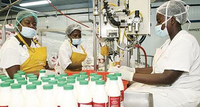 A indústria de lacticínios tem agora matéria- prima  suficiente para abastecer iogurtes gelados e outros derivados para o mercado nacional