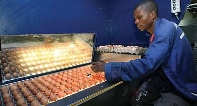 Selecção de ovos na Aldeia Nova é feita criteriosamente antes de serem    entregues às grandes superfícies comerciais em todo o país