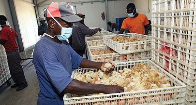 Milhares de pintos dos vários aldeamentos permitem a  continuação da produção em  larga escala de galinhas poedeiras  e de abate