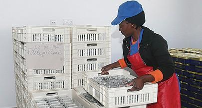 As mulheres constituem a maioria nas principais unidades de processamento de pescado