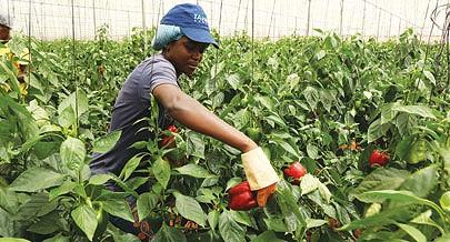 Na fase experimental foi possível colher dezenas de toneladas de pimento em cada hectar