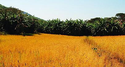 O município de Cassongue consta de um programa do Executivo para a produção de cereais em grande escala onde está incluído o trigo