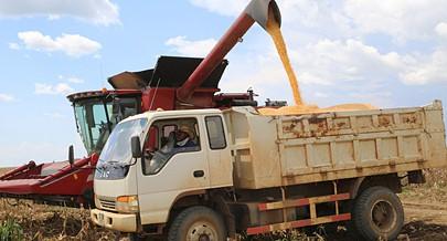 """A fazenda """"Dia-Dia"""" tem 900 hectares de milho plantados e parte do produto recolhido é para o fabrico de ração"""